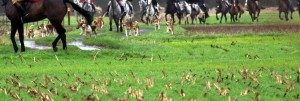 hunt horses and dogs pic